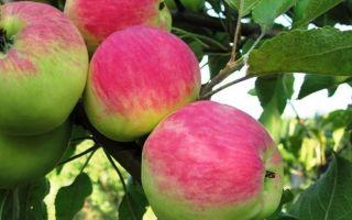 Характерные особенности сорта яблони Мантет