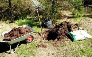Правила и советы осенней посадки яблони