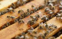 Как можно быстро поймать рой пчёл в улей