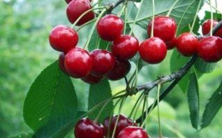 Описание сорта и характерные черты вишни Молодежная