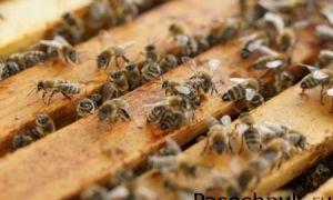 Как можно быстро поймать рой пчел в улей
