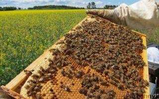 Усиление пчелиной семьи весной