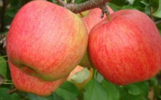 Сорт яблони Чемпион: описание и особенности