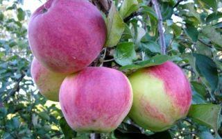 Сорт яблони Уэлси: описание и отзывы