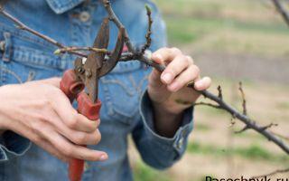 Как правильно сформировать крону яблони