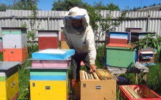 Как пересадить пчел весной в чистый улей