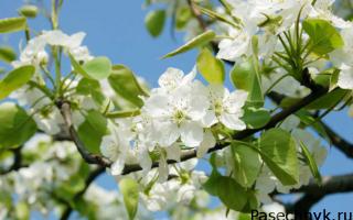 Что делать если вишня цветет, но нет плодов