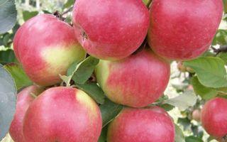 Описание яблони сорта Жигулевское
