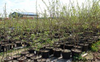 Осенняя посадка и выращивание яблони в Подмосковье