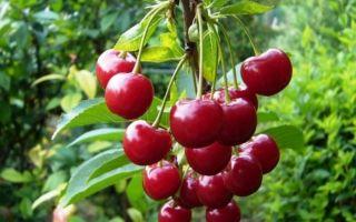 Основные заболевания и вредители вишни