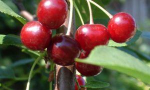 Описание сорта вишни: Быстринка