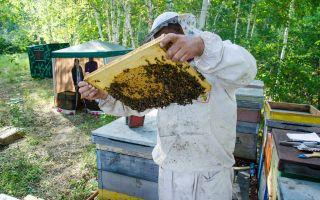 Как правильно сделать пчелиный отводок