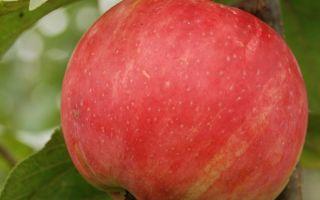 Характерные черты сорта яблони Услада