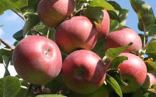 Описание сорта яблони: Лобо