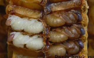 Как размножаются пчелы и что они едят