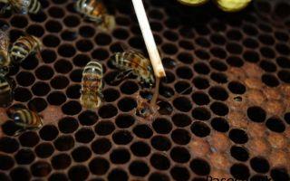 Типы гнильца у пчел и его лечение