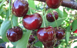 Описание сорта вишни: Подбельская