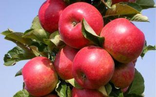 Самые лучшие сорта колоновидной яблони