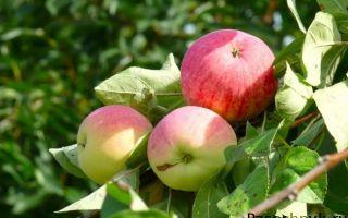 Описание сорта яблони: Мельба