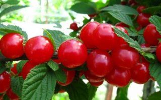 Способы размножения вишни