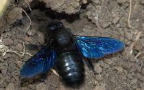 Все о черных пчелах
