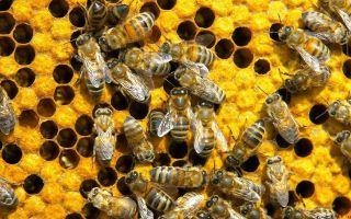 В чем отличие пчелосемьи от пчелопакета