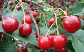 Описание сорта вишни: Причуда