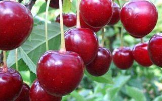 Описание сорта вишни: Харитоновская