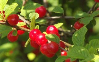 Описание и характеристика войлочной вишни