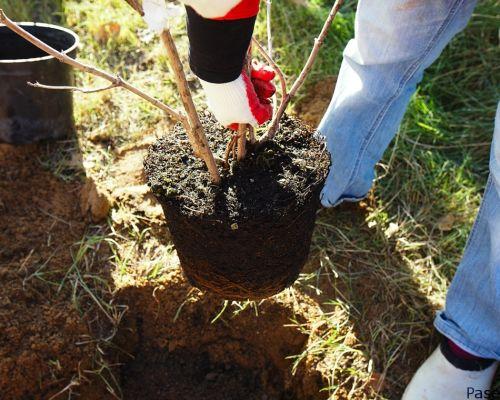 Важные правила пересадки яблоневого дерева весной
