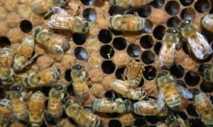Аскосфероз пчел или болезнь известкового расплода
