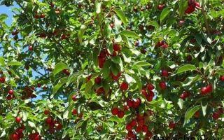 Все о подкормке вишни
