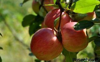 Популярные летние сорта яблонь для средней полосы