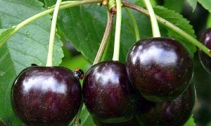 Описание сорта вишни: Ночка