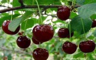 Описание сорта вишни: Владимирская