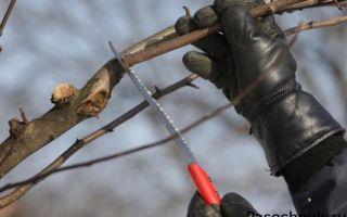 Как начинающему садоводу обрезать яблони летом