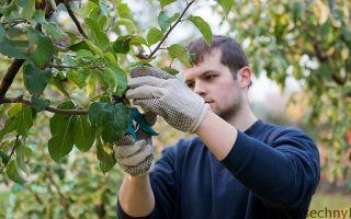 Как правильно привить яблоню в августе