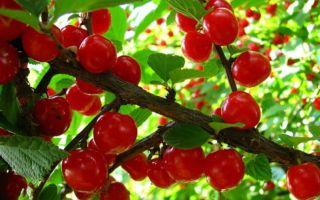Описание сорта вишни: Брусницына
