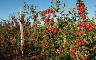 Сорта яблони на карликовом подвое