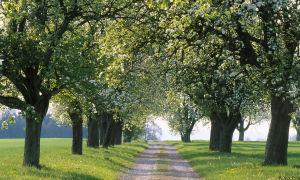 Какие яблоневые сорта подходят для выращивания в Беларуси