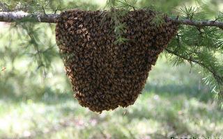 Как сделать ловушку своими руками для ловли пчелиного роя