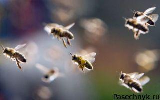 Навигация пчел: как они находят дорогу домой
