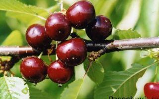Описание сорта Чудо-вишни