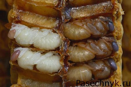 личинки пчел