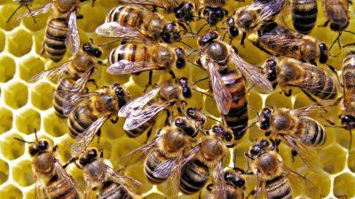 матка и пчелы