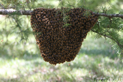 Пчелиный рой в лесу