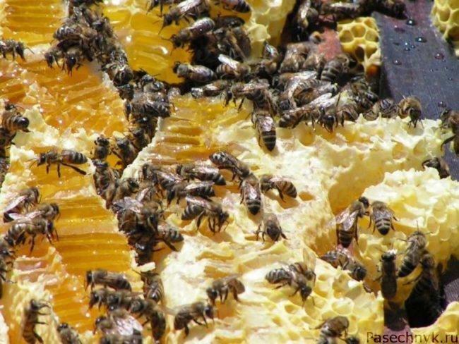 пчелы едят мед