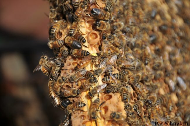 рой пчел на рамке
