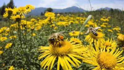 Пчелы и подсолнухи