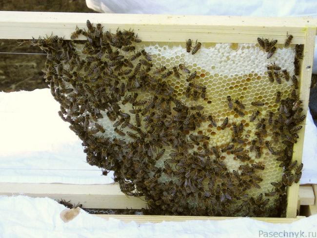 много пчел на рамке